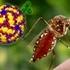 Вирус денге мутирует и становится устойчивым к вакцинам и лекарственным средствам